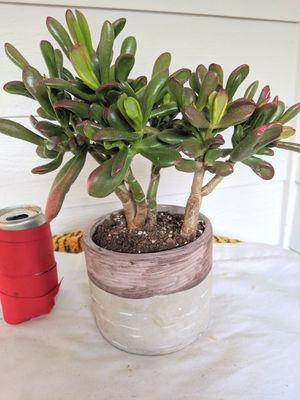 Spoon Jade Succulent Plants in Ceramic Planter Pot- Real Indoor House Plant for Sale in Auburn, WA