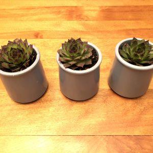 3 Live Succulents In Ceramic Planters for Sale in Bellevue, WA
