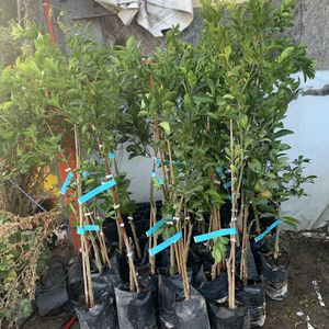 Mandarins Trees Seedless 🍊 for Sale in Fresno, CA