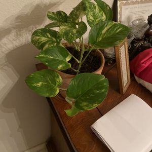 Golden Pothos In Terra Cotta Pot for Sale in Arlington, TX