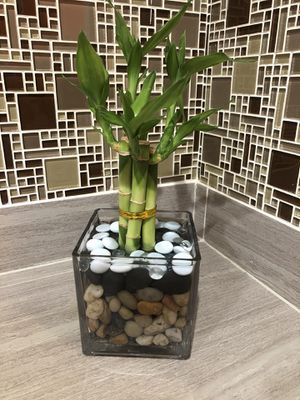 Bamboo plants for Sale in Glendale, AZ