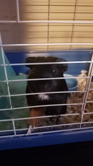 Guinea pig for Sale in Chicago, IL