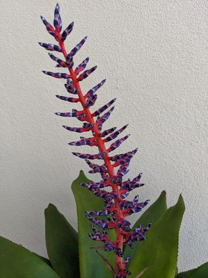 Aechmea 'Del Mar' bromeliad for Sale in Torrance, CA