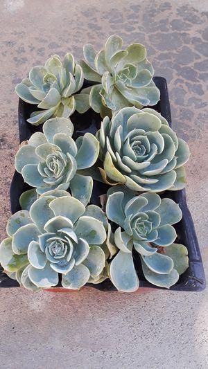 Suculente plants. for Sale in Riverside, CA