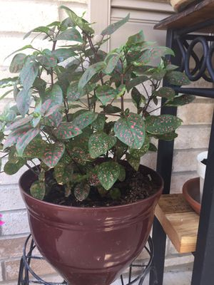 Polka dot plant for $15. Plant stand not included. Buda, Texas for Sale in Creedmoor, TX