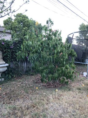 Hass avocado tree. for Sale in Ontario, CA