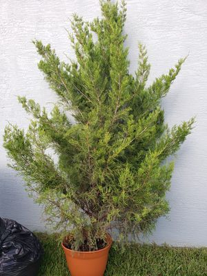 Pine Tree for Sale in West Palm Beach, FL