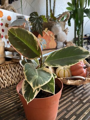 Variegated rubber tree plant for Sale in Hayward, CA