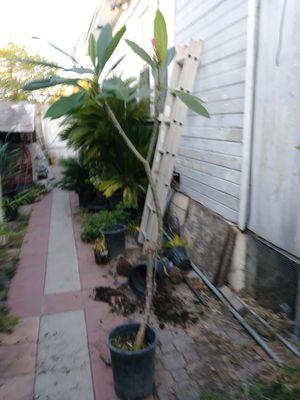 Plumaria $50 for Sale in Riverside, CA