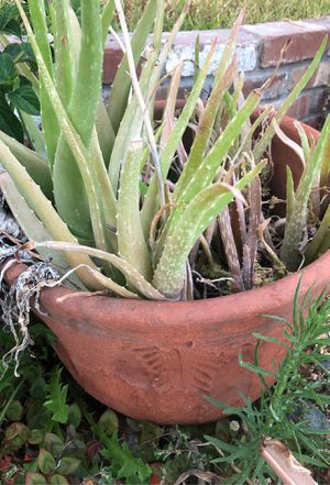 Planter with Aloe plants for Sale in Claremont, CA