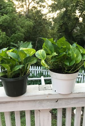 Indoor plants for Sale in Falls Church, VA
