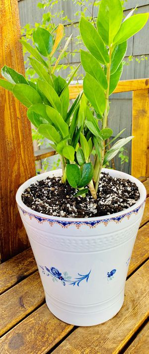 Live indoor ZZ house plant in a textured ceramic planter flower pot—firm price for Sale in Renton, WA