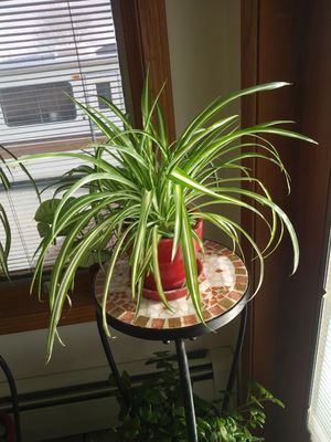 Healthy Spider Plant for Sale in Price, UT