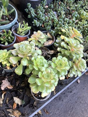 Succulent flower plant - 4 in pot for Sale in Modesto, CA