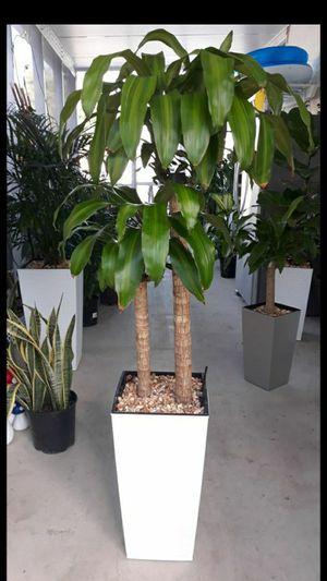 "Dracaena plant pot incluye 22"" for Sale in Medley, FL"