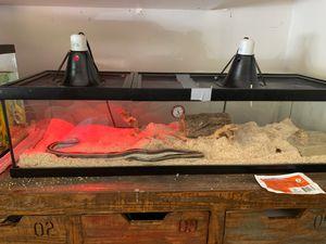 Snake, Baja Boa for Sale in Poway, CA