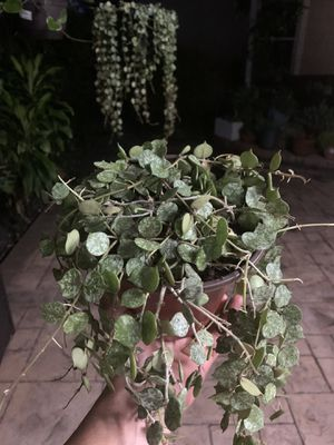 Hoya Curtisii for Sale in Miami, FL