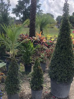 🌲EUGENIA TOPIARY SALE! from $25.00 for Sale in Miami,  FL