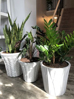 $300 3 pots of Live indoor Plants with a beautiful ceramic pots Pick up Gahanna for Sale in Columbus, OH
