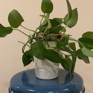 Pothos In A Ceramic Pot - Pick Up Only for Sale in Brooklyn, NY