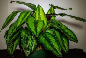 Calathea Ornata for Sale in Port Richey, FL