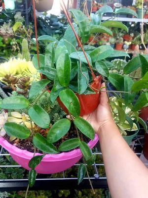 """Hoya purple flowers shown in 6"""" pot for Sale in Riverside, CA"""