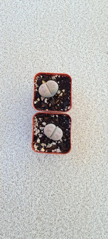 Succulent plant 'lithops'