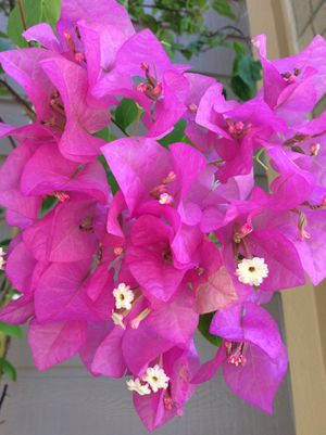 """108""""x65"""" Giant Queen Of Tropical Natives Gorgeous Blooming Bougainvillea Alive PLANT Tree for Sale in Austin, TX"""