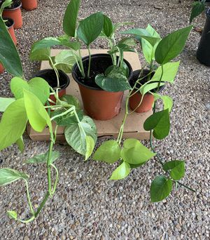 Money plants/pothos ivy (2variety in 1 pot) for Sale in Plano, TX