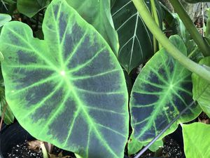 colocasia illustris for Sale in Saint Petersburg, FL