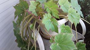 2 Red and green plants (full grown) for Sale in Salt Lake City, UT
