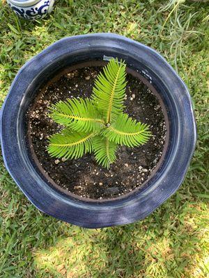 Sego Palm for Sale in Visalia, CA