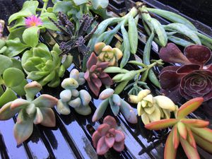 20 Assorted Succulent Cuttings for Sale in Hanford, CA