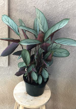 Ctenanthe Grey Star Plant for Sale in Spring Valley, CA