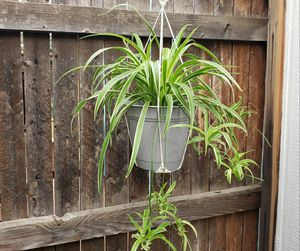 Healthy and mature spider and tradescantia zebrine plants in organic soil for Sale in Denver, CO