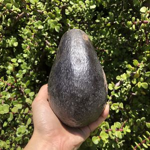 Large Organic Home Grown Avocados for Sale in Westminster, CA