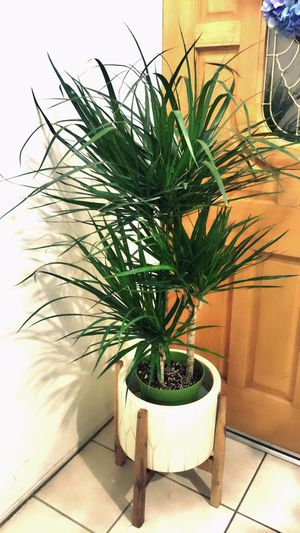 Big 🌱Tall🌱Healthy 🌱and Beautiful Dracaena Marginata Plant - About 4 feet tall - $30 each plant only - Outdoor/Indoor Plant for Sale in Garden Grove, CA