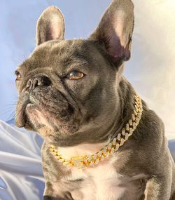 DOG GOLD CHAIN for Sale in Lathrop,  CA