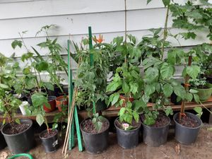 Lots of chester berry thornless #3gallon for Sale in Gresham, OR