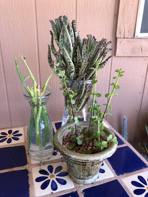 Succulent Plant Cuttings