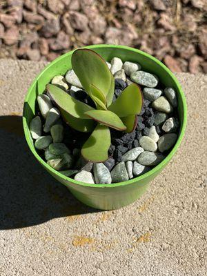 Jade Plant or Pigmyweeds Succulent for Sale in Las Vegas, NV