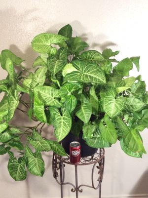 """Large 32"""" Organic Homegrown Alive Arrowhead Air Purifier Plant in a pot for Sale in Austin, TX"""