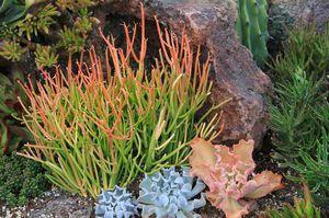🌵Fire Stick Plants- Euphorbia Tirucalli- Aveloz- Indian tree spurge- Naked Lady- Milk Bush- Pencil Cactus 🌵 for Sale in Whittier, CA