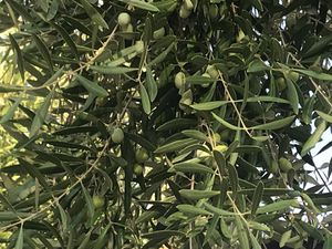 Olives- beautiful and rip(in the tree). Pick away for Sale in Scottsdale, AZ
