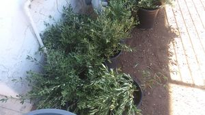 Olivos 5 gallon plants for Sale in Phoenix, AZ