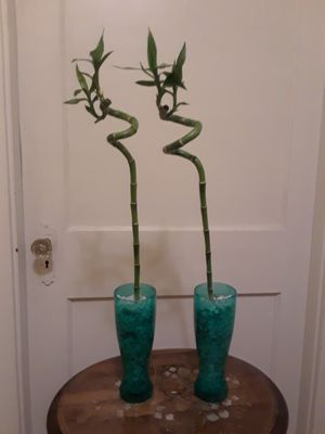 Lucky bamboo house plant for Sale in North Attleborough, MA