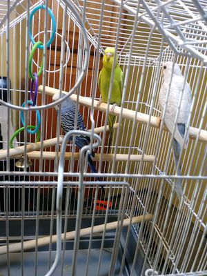 Parakeet, and cage for sale ....include the food for Sale in Detroit, MI