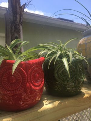 Set of Two ( Green and Striped) Spider Plants for Sale in Poinciana, FL
