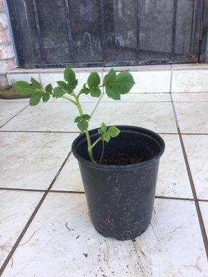 Potato plant for Sale in El Paso, TX