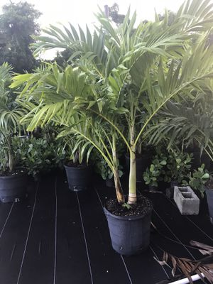 Christmas palms for Sale in Miami, FL